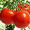 Семена томата Загадка 1 гр. Элитный ряд