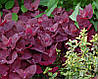 Семена Лебеда садовая Ред Плюме 3 г