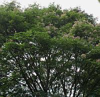 Эводия Даниэля, Тетрадиум Даниэля (Euodia daniellii / Tetradium daniellii), семена