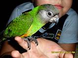 Сенегальский попугай (ручные малыши, докормыши), фото 6