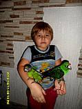 Сенегальский попугай (ручные малыши, докормыши), фото 7