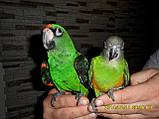Сенегальський папуга (ручні малюки, докормыши), фото 7