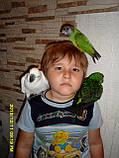 Сенегальський папуга (ручні малюки, докормыши), фото 8