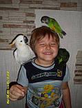 Сенегальский попугай (ручные малыши, докормыши), фото 10