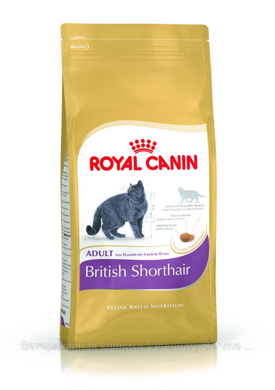 BRITISH SHORTHAIR ADULT