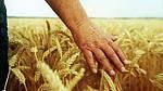 Збільшення розміру і ваги зерна пшениці
