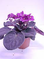 Сенполія (12/20) фіолетова ОРА АГРО-ЕКО, фото 1