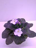 Фіалка (12/20)біло- фіолетова ОРА АГРО-ЕКО, фото 1
