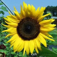 Насіння соняшнику