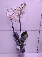 Орхідея White-yellow ОРА АГРО-ЕКО, фото 1