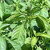 Семена базилика лимонного 10 гр. Коуел
