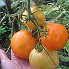 Семена томата Руслан 40 сем. томат Nasko