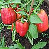 Семена перца сладкого Степаша 2 гр. Элитный ряд