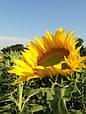 Семена подсолнечника Лэйла (станд.), фото 3