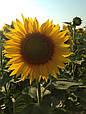 Семена подсолнечника Лэйла (станд.), фото 4