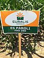 Семена кукурузы ЕС Пароли, фото 2