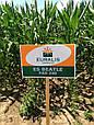 Семена кукурузы ЕС Битл, фото 2