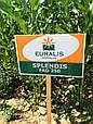 Семена кукурузы ЕС Сплендис, фото 2