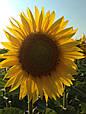 Среднепоздние семена подсолнечника Сингента Армони, фото 4