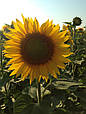Среднепоздние семена подсолнечника Сингента Армони, фото 6