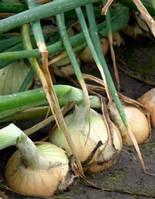 Семена лука Балстар F1 (Balstar F1) 1кг (озимый) Seminis