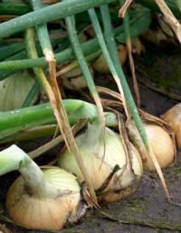 Семена лука Балстар F1 \ Balstar F1 1кг  (озимый) Seminis