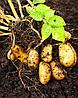 Какие условия нужны для выращивания картофеля