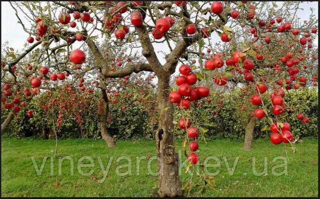 Яблоня, подвой, сорт, обрезка, формировка
