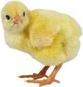 Цыпленок суточный бройлеров Кооб 500