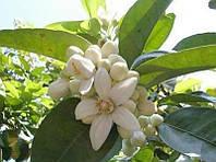 Эфирное масло бергамота - Антиспазматическое, успокаивающее, противовоспалительное средство