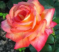 Роза  Ди Вельт. Чайно-гибридная роза. , фото 1