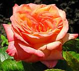 Роза  Ди Вельт. (ввв). Чайно-гибридная роза, фото 3
