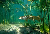 Свежемороженая, свежая речная рыба оптом