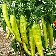 Семена перца острого Хуэро F1 250 сем. Професійне насіння