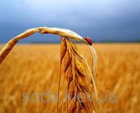 В Україні викопано більше половини цукрових буряків
