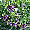 Семена Люцерны Надежда 1 кг Садыба Центр