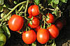 Семена томата Форсаж (Фриско) F1 (1000с) ранний сливка