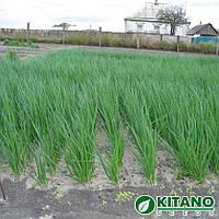 Семена лука на перо Вулкан 100 гр. Kitano