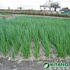 Семена лука на перо Вулкан 20 гр. Kitano