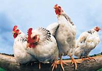 Болезнь Ньюкасла у птиц