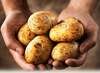 Как правильно садить картофель