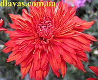 Хризантема корейская ранняя, фото 1
