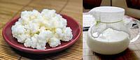 Молочный гриб, (тибетский гриб)