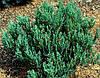 Можжевельник горизонтальный 'Blue Forest', контейнер С5 a-0,30