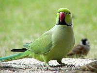 Ожереловый попугай зеленый от 8 месяцев