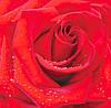 Фотообои *Красная роза* 196х210