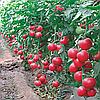 Семена томата Малиновый звон 30 гр. Элитный ряд