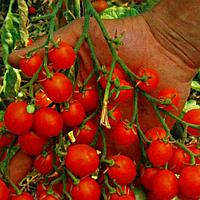 Семена томата Барбарис черри F1 1 гр. Элитный ряд