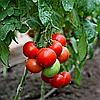 Семена томата Хали-гали F1 20 сем. Элитный ряд