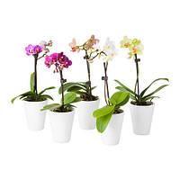 Орхидея Mini (Ø 6 см, h 18 см)